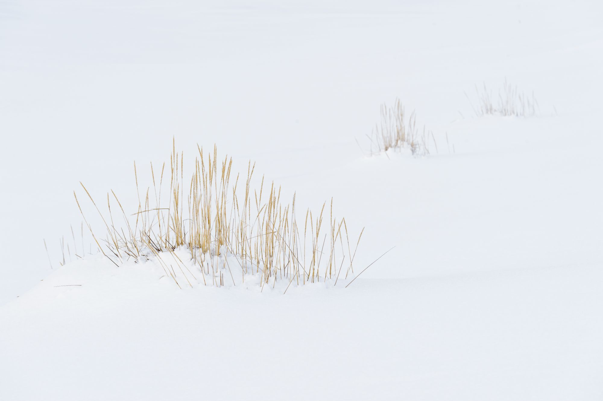 Sea lyme grass in snow