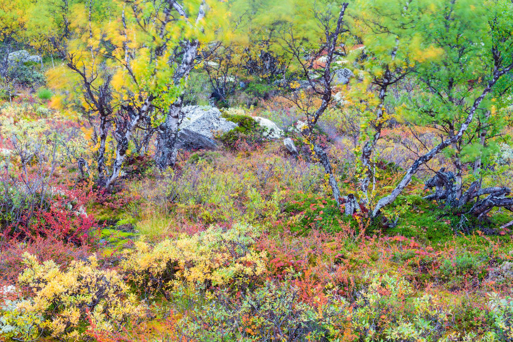 Colourful trees in Rondane