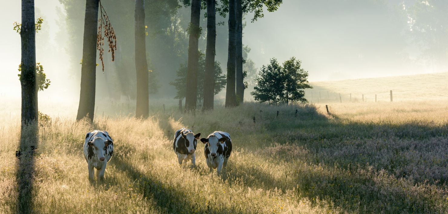 Three cows at dawn