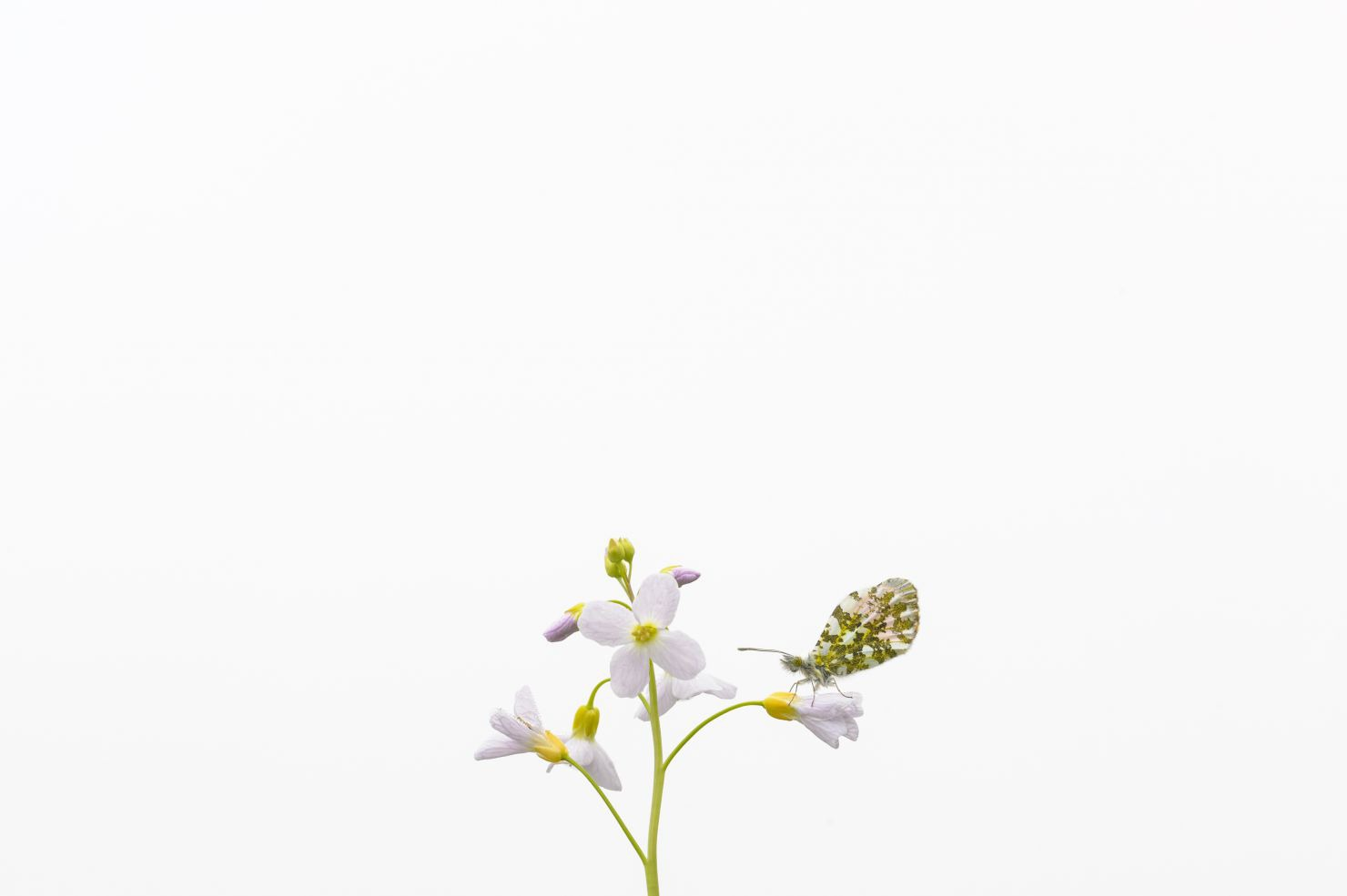 Orange tip on Chuckoo flower