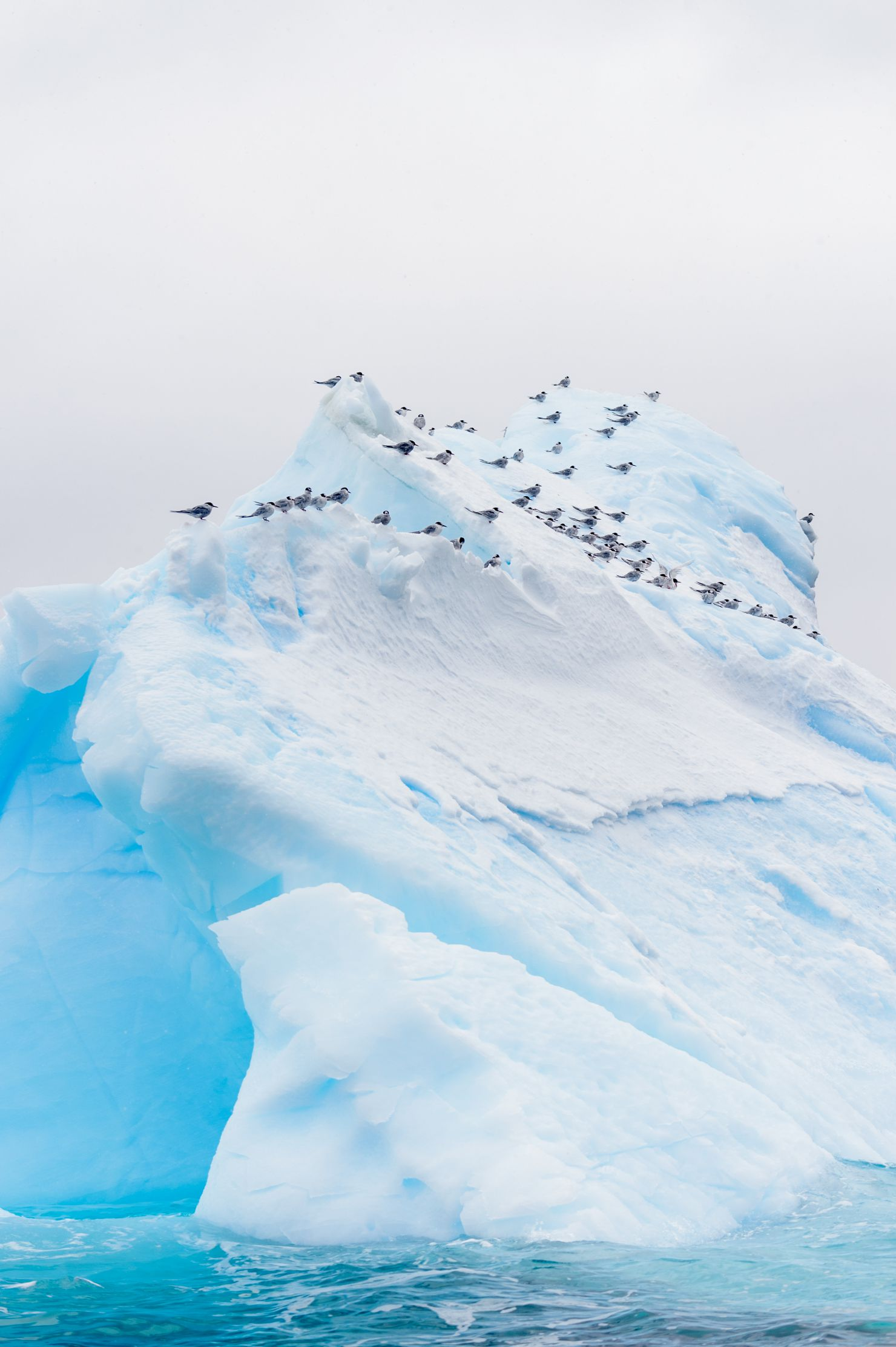 Antarctic terns on tabular ice