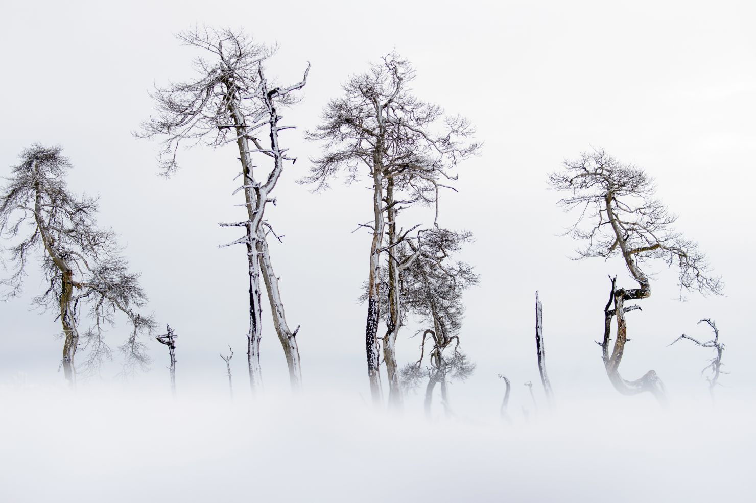Dead pines in snow landscape