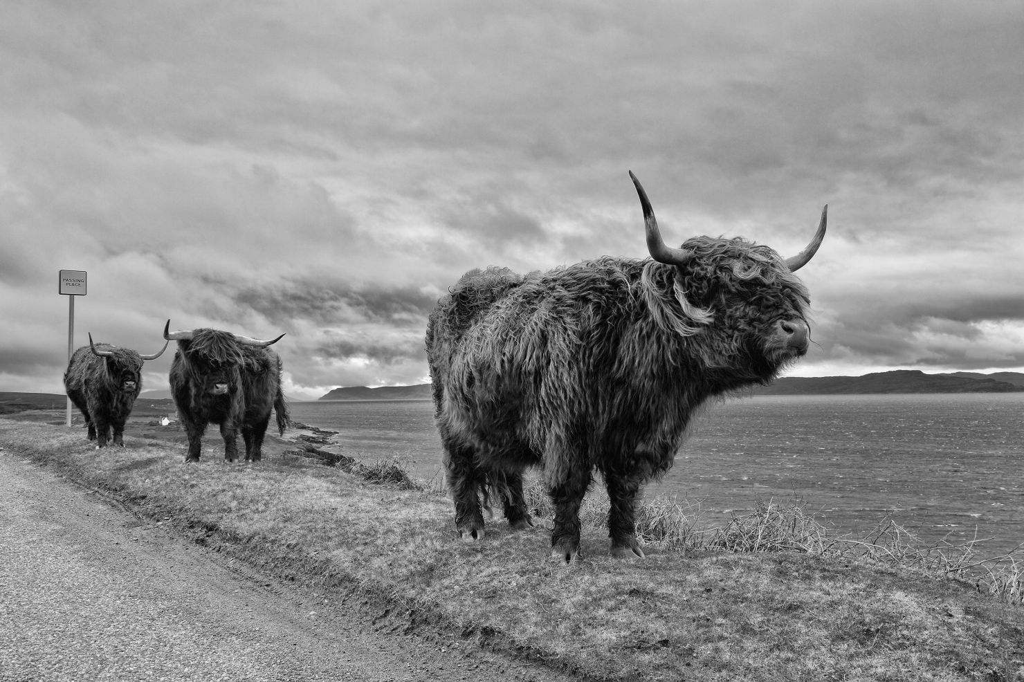 Highland cattle in Scotland